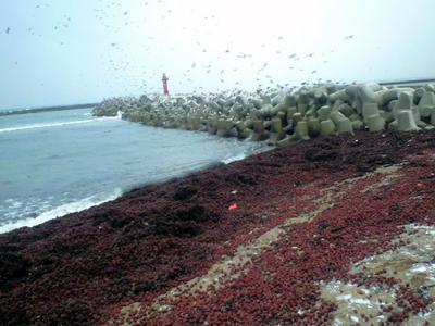 ぶりこで深紅に染まる男鹿の浜辺